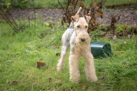 Wire Fox Terrier Shedding by Teacup Wire Hair Puppies Breeds Picture