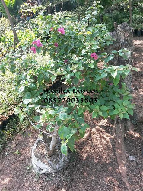 jual pohon bonsai bougenville bunga kertas jasa tukang