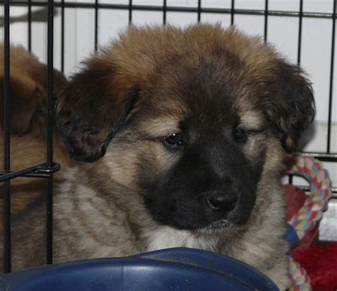 leonberger puppies for adoption adopt a leonberger puppy leonberger adoption breeds picture