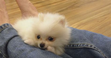 micro teacup white pomeranian white micro teacup pomeranian puppies