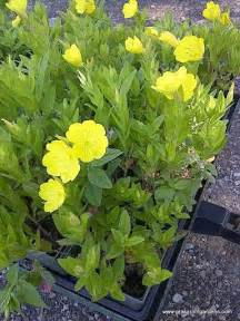 Yellow Garden Flowers Identification To Be Plant Identification And Mobile App On