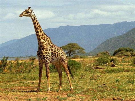 imagenes de jirafas salvajes tocar el cielo una jirafa estirada