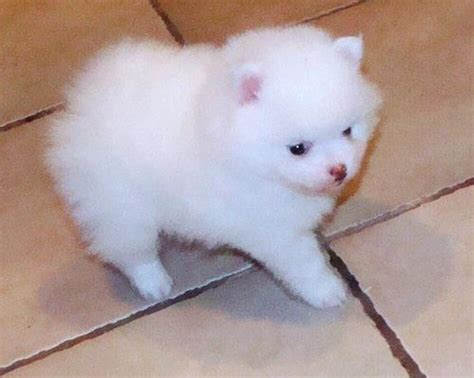 teacup pomeranians for sale in louisiana pin pomeranian puppies for free sale on
