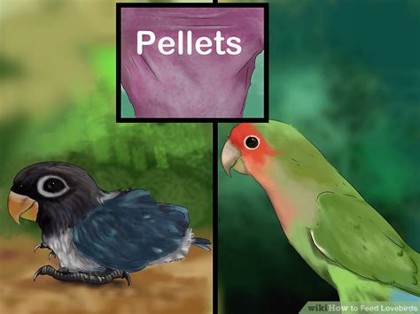3 ways to feed lovebirds wikihow