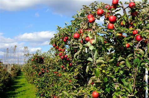 Batu Gambar Rhoma cara budidaya tanaman buah apel cara budidaya