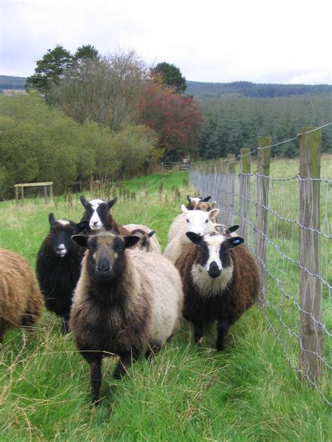 Self Shedding Sheep Breeds by 1000 Ideas About Sheep Breeds On Sheep Sheep