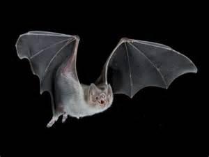 Bats In 3d Printed Bat Models Yield New Scientific Discoveries