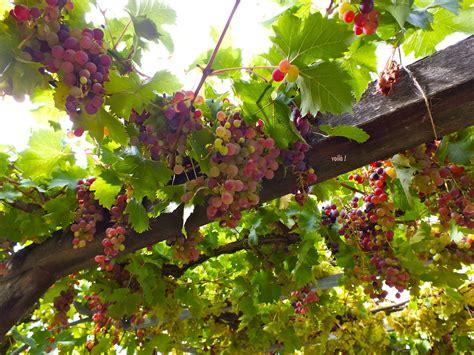 Bibit Anggur Bandung menanam anggur di dalam pot bliblinews