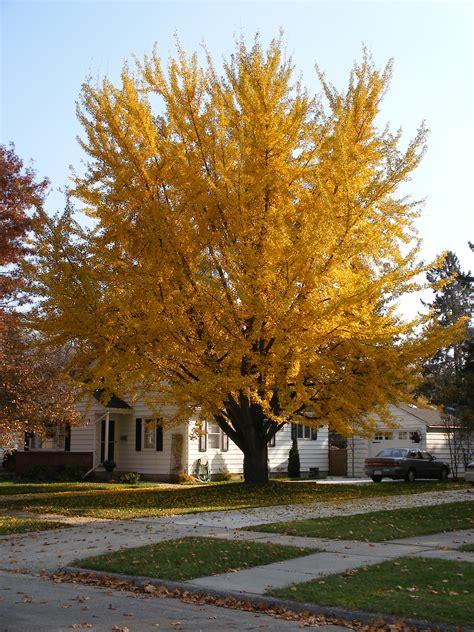 file ginkgo tree 08 11 04a jpg wikimedia commons
