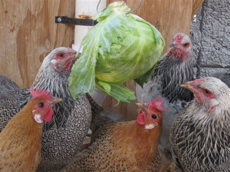 Best Way To Feed Chickens Zucchini Squash What To Feed Backyard Chickens