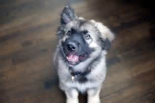United states other names alsatian shepalute height male weight male