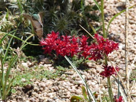 hesperaloe parviflora perpa sold as brakelights r