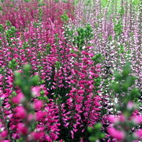 herbstblumen garten winterhart herbstblumen gartencenter blumenparadies hasselt