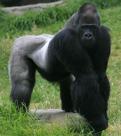 mountain gorilla silverback viewing gallery