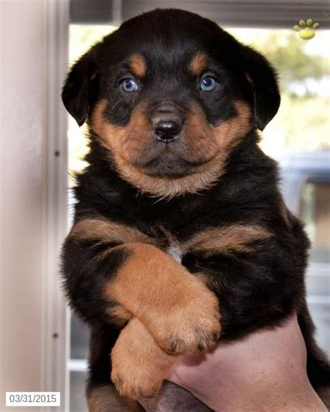 rottweiler for sale in ohio beautiful rottweiler puppies for sale and babies on