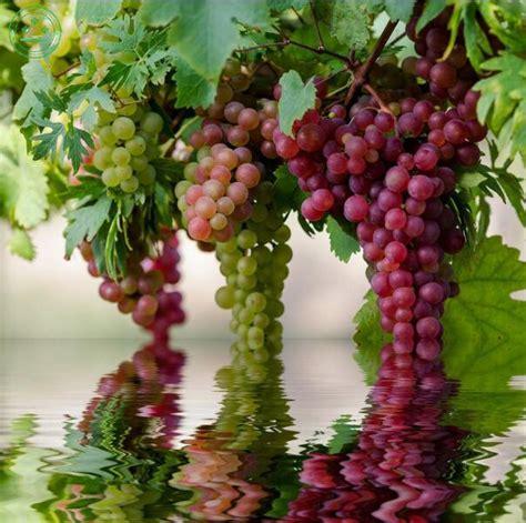 grapes fruit tree popular fruit tree species buy cheap fruit tree species