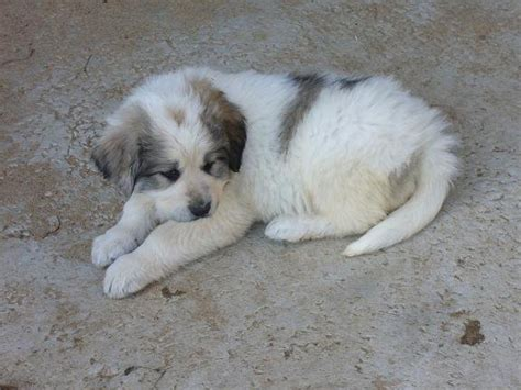 great pyrenees puppies for adoption great pyrenees puppies ready nov 5th for sale adoption from apsley breeds picture