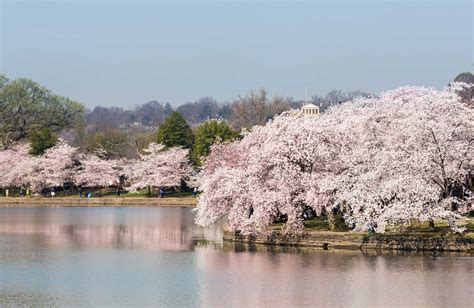 cherry blossom festival dc cherry blossom festival in washington dc family