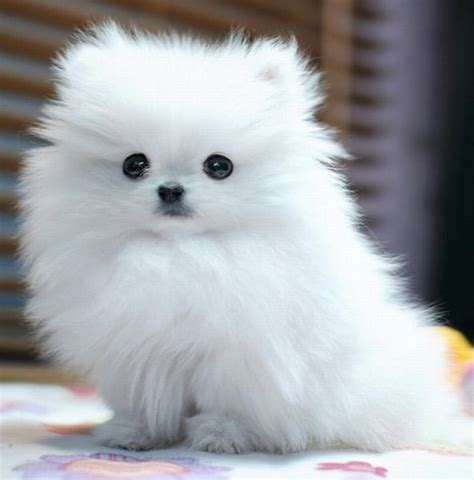 cutest breeds small fluffy dogs this is the mini gallery of breeds that stay small