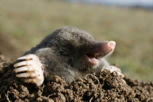 How To Get Rid Of A Groundhog In My Backyard Mole Removal Genesee County Michigan