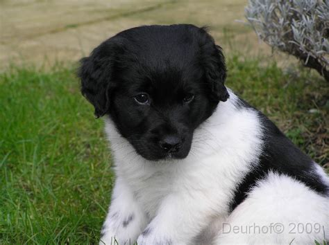 St Overal Puppy 1000 images about puppies on