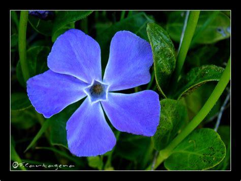 imagenes de flores azules brillantes imagenes de flores azules brillantes images
