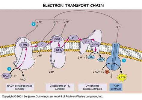 diagram and explain electron transport electron transport chain animalcellbiology