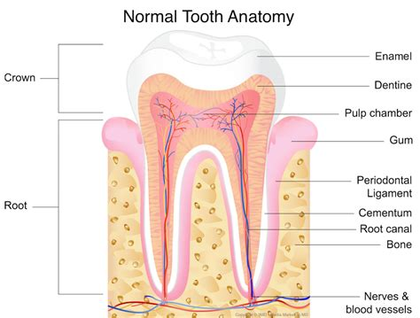 The Tooth tooth and nerve damage to teeth southlake endodontics