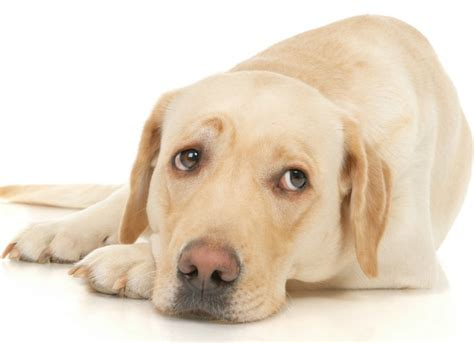 arthritis in dogs arthritis treatment arthritis symptoms in dogs petmd