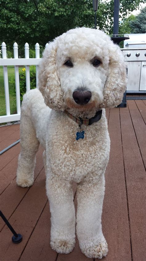poodle haircuts images 17 best ideas about poodle cuts on pinterest poodles