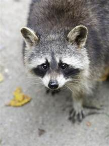 what to expect from a pet raccoon
