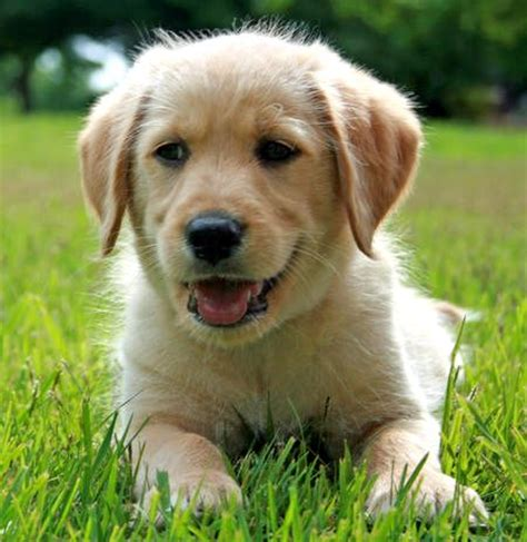 golden retriever and lab puppies golden retriever chocolate lab mix photo happy heaven