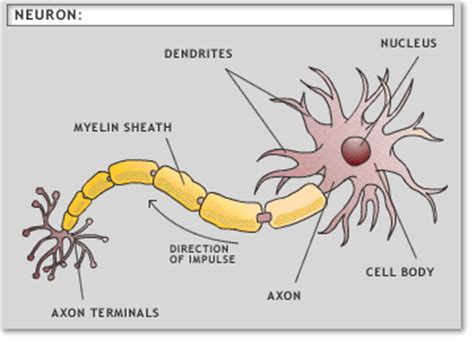 diagram of a brain cell how to be an etutor