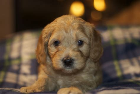 5 week puppy without beyonce s 2014 mini australian goldendoodle puppies 5 1 2 weeks pups by