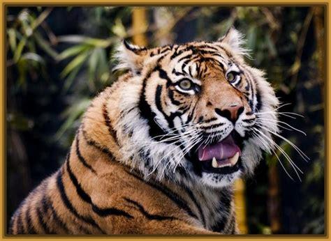 imagenes artisticas de tigres fotos de un tigre rugiendo archivos fotos de tigres