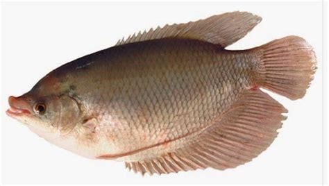 Usaha Pembenihan Ikan Bawal Di Berbagai Wadah Kholish Mahyuddin panduan cara yang baik dan benar budidaya ikan guramih dan cara berbudidaya yang baik