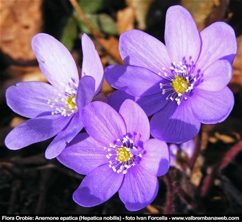 fiori montani fiori di montagna orobie