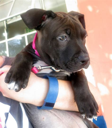 2 month pitbull puppy photos 2 month pit bull puppy returned to san francisco animal care