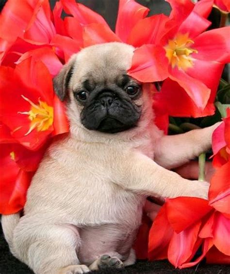 pugs and roses best 25 pug puppies ideas on pug puppies