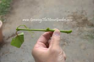propagating grape vines with greenwood cuttings growing