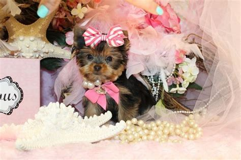 yorkies in florida 17 best images about t cup yorkies for sale in florida on home tea cups