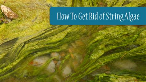 how to get rid of string algae in your pond for
