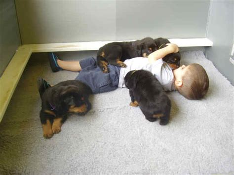 rottweilers and children rottie facts
