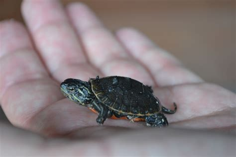 tiny www pixshark images galleries small turtles www pixshark images galleries