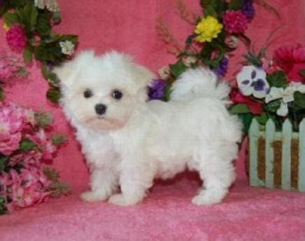 free puppies mobile al baby maltese puppies for adoption in alabama breeds picture
