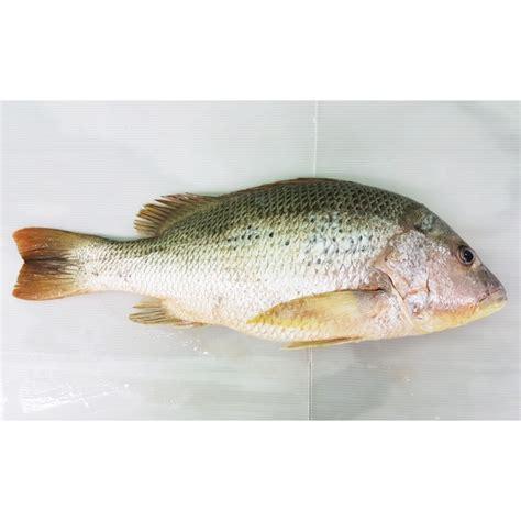 Timbangan Untuk Ikan 19 manfaat dan khasiat ikan jenahak untuk kesehatan