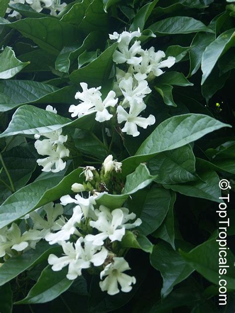 Climbing Plant With Fragrant Flowers - pin by cindy hamlin on garden pinterest