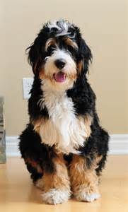 1 year standard bernedoodle dogs