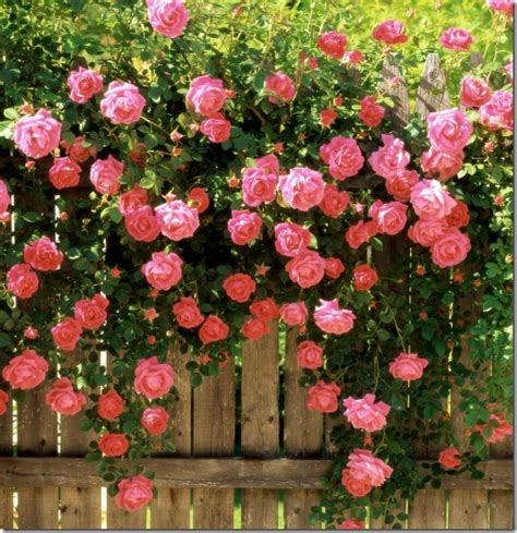 when to plant climbing roses still waters notes from a virginia shire climbing roses