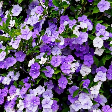 flowering shrubs with purple flowers brunfelsia latifolia compacta yesterday today and tomorrow